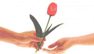 raudona-tulpe_2