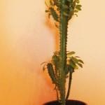 euphorbia-trigona