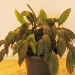 spathiphyllum-daniel