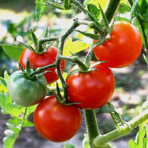 tomatoes-on-vine2_png